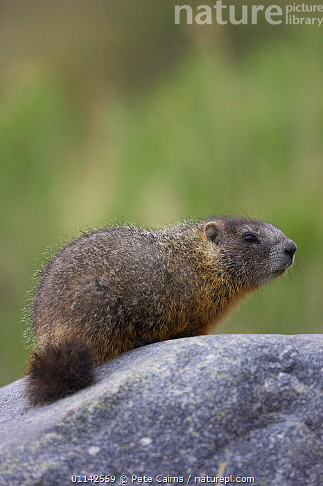 Yellow-bellied marmot (Marmota flaviventris) basking on rock, Yellowstone National Park, Wyoming, USA  ,  MAMMALS,MARMOTS,NORTH AMERICA,RESERVE,RODENTS,USA,VERTEBRATES,North America  ,  Pete Cairns