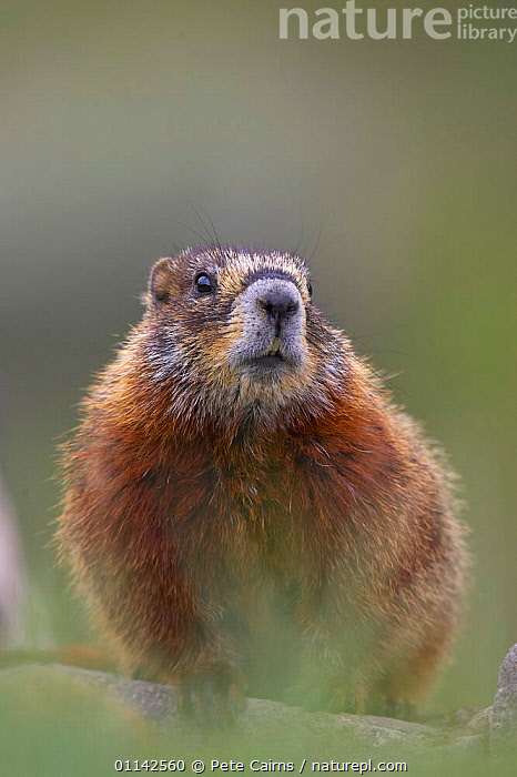 Yellow-bellied marmot (Marmota Flaviventris) peering out from rocks where they make their den, Yellowstone National Park, Wyoming, USA  ,  MAMMALS,MARMOTS,NORTH AMERICA,PORTRAITS,RESERVE,RODENTS,USA,VERTEBRATES,North America  ,  Pete Cairns