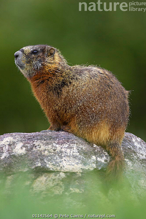 Yellow-bellied marmot (Marmota Flaviventris) sitting up on rock, Yellowstone National Park, Wyoming, USA  ,  MAMMALS,MARMOTS,NORTH AMERICA,PORTRAITS,RESERVE,RODENTS,USA,VERTEBRATES,VERTICAL,North America  ,  Pete Cairns