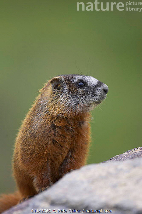 Yellow-bellied marmot (Marmota Flaviventris)  Yellowstone National Park, Wyoming, USA  ,  MAMMALS,MARMOTS,NORTH AMERICA,RESERVE,RODENTS,VERTEBRATES,VERTICAL  ,  Pete Cairns