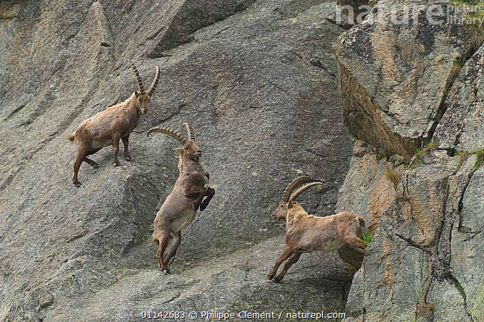Male ibex {Capra ibex ibex} fighting for dominance on rock face, Gran Paradiso NP, Alps, Italy  ,  AGRESSION,ARTIODACTYLA,BEHAVIOUR,BOVIDS,CLIFFS,COMPETITION,EUROPE,GOATS,MALES,MAMMALS,NP,RESERVE,STEEP,THREE,VERTEBRATES,Geology,National Park,Antelopes  ,  Philippe Clement