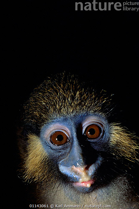 Moustached monkey portrait (Cercopithecus cephus), Central Africa.  ,  AFRICAN,CLOSE UP,CONGO BASIN,CONSUMING NATURE,EQUATORIAL AFRICA,EYES,FACE,GUENONS,HEAD,MAMMALS,MONKEYS,PRIMATES,VERTEBRATES,VERTICAL,Catalogue1  ,  Karl Ammann