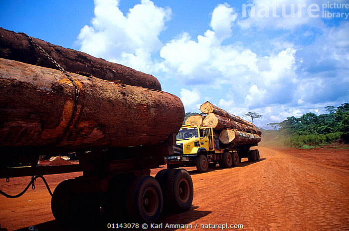 Tropical rainforest timber transported on logging trucks to the local seaport. Drivers are paid per trip and therefore have an incentive to ignore traffic and safety rules.  ,  AFRICAN,CONGO BASIN,CONSUMING NATURE,DEFORESTATION,EQUATORIAL AFRICA,EXPLOITATION,EXPORT,INDUSTRY,LOGS,TRADE,TRANSPORT,TREES,VEHICLES,WOOD,Plants,Catalogue1  ,  Karl Ammann