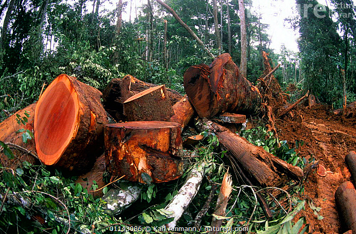 Waste timber, Central African rainforest. On average, less than half of the wood cut is used.  ,  AFRICA,AFRICAN,CLEARING,CONGO BASIN,CONSUMING NATURE,DEFORESTATION,DESTRUCTION,EQUATORIAL AFRICA,EXPLOITATION,FELLING,INDUSTRY,LOGGING,LOGS,TRADE,TROPICAL RAINFOREST,WOOD,Catalogue1  ,  Karl Ammann