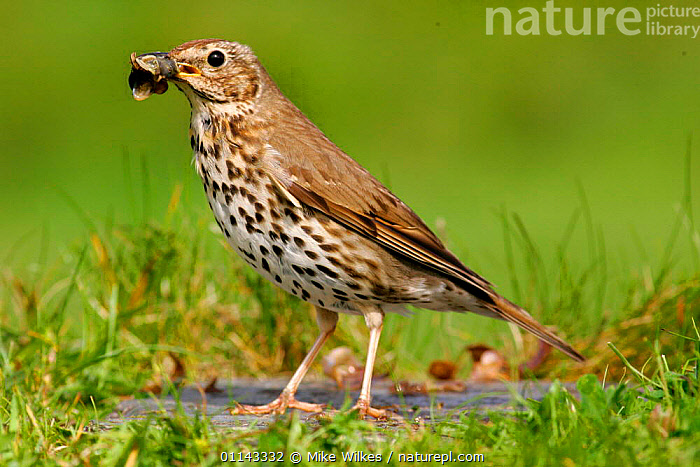 Song thrush {Turdus philomelos} with snail shell, St. Marys, Isles of Scilly, UK.  ,  BIRDS,EUROPE,FEEDING,PREDATION,THRUSHES,UK,VERTEBRATES,United Kingdom,Behaviour,British,GettyBOV  ,  Mike Wilkes