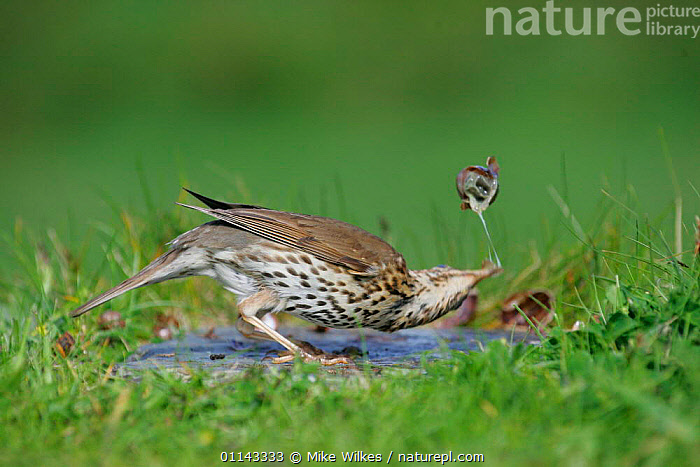 Song thrush {Turdus philomelos} breaking snail shell on anvil, St. Marys, Isles of Scilly, UK.  ,  ACTION,BEHAVIOUR,BIRDS,EUROPE,FEEDING,MOVEMENT,THRUSHES,UK,VERTEBRATES,United Kingdom,British  ,  Mike Wilkes