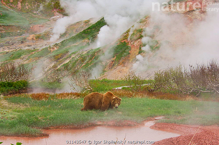 Kamchatka Brown bear (Ursus arctos beringianus) walking along the Valley of the Geysers, Kronotsky Zapovednik Reserve, Kamchatka, Russia., ASIA,BEARS,CARNIVORES,GEOLOGY,GEOTHERMAL,GEYSERS,LANDSCAPES,MAMMALS,RUSSIA,VERTEBRATES,Catalogue1G, Igor Shpilenok
