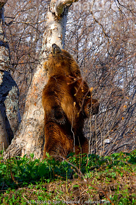 Male Kamchatka Brown bear (Ursus arctos beringianus) marks trunk of Stone birch to denote territory during mating season, Valley of the Geysers, Kronotsky Zapovednik Reserve, Kamchatka, Russia., ASIA,BEARS,BEHAVIOUR,CARNIVORES,MAMMALS,RUSSIA,TERRITORIAL,TREES,VERTEBRATES,VERTICAL,Plants, Igor Shpilenok
