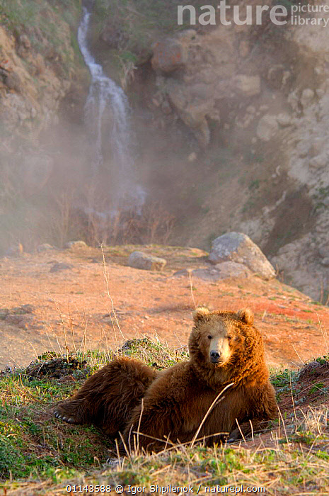 Kamchatka Brown bear (Ursus arctos beringianus) resting on warm ground next to thermal waters, Valley of the Geysers, Kronotsky Zapovednik Reserve, Kamchatka, Russia., ASIA,BEARS,BEHAVIOUR,CARNIVORES,GEOTHERMAL,HEAT,HOT,MAMMALS,RUSSIA,VERTEBRATES,VERTICAL,Geology, Igor Shpilenok
