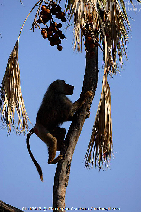 Hamadryas Baboon {Papio hamadryas} climbing palm tree in order to feed on nuts. Awash NP, Ethiopia  ,  BABOONS,BEHAVIOUR,EAST AFRICA,MAMMALS,MONKEYS,PRIMATES,TREES,VERTEBRATES,Africa,Plants,Catalogue1  ,  Christophe Courteau