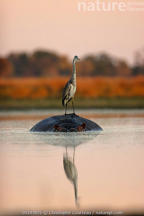 Grey Heron (Ardea cinerea) standing on Hippopotamus (Hippopotamus amphibius) for fishing at Sunrise. Northern Okavango Delta, Botswana  ,  BEHAVIOUR,BIRDS,DAWN,HERONS,MIXED SPECIES,REFLECTIONS,RESERVE,SOUTHERN AFRICA,VERTEBRATES,VERTICAL,WATER  ,  Christophe Courteau