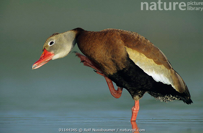 Black bellied whistling duck {Dendrocygna autumnalis} adult preening, Welder Wildlife Refuge, Sinton, Texas, USA.  ,  BEHAVIOUR,BIRDS,GROOMING,PROFILE,USA,VERTEBRATES,WATERFOWL,WHISTLING DUCKS,North America,Wildfowl  ,  Rolf Nussbaumer