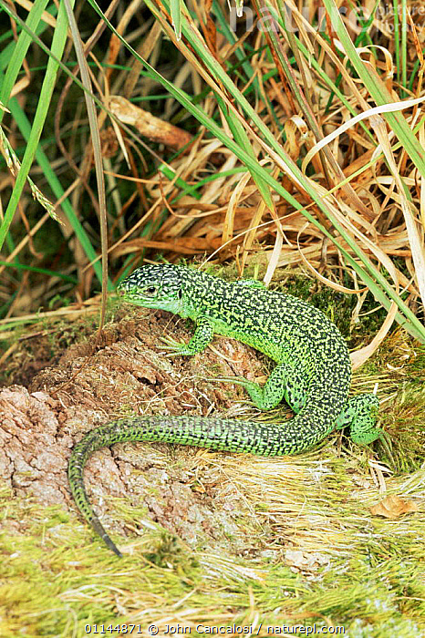 Green lizard {Lacerta viridis} Europe, captive  ,  LIZARDS,PORTRAITS,REPTILES,SAND LIZARDS,VERTEBRATES,VERTICAL  ,  John Cancalosi
