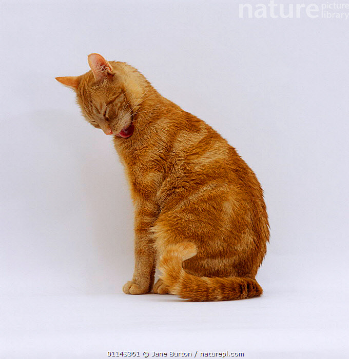 Domestic Cat {Felis catus} ginger tabby female 'Lucky' licking fur under chin as far up as she can.  ,  BEHAVIOUR,CARNIVORES,CATS,GROOMING,PETS,PROFILE,TONGUES,VERTEBRATES  ,  Jane Burton
