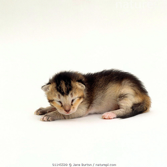 Domestic Cat, 7-day ticked-tabby kitten 'Gus', eyes still closed, offspring of 'Pansy', BABIES,CATS,CUTOUT,NEWBORN,PETS,VERTEBRATES, Jane Burton