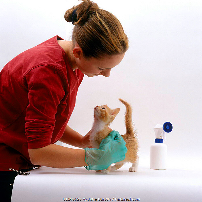 Owner treats 8-week kitten 'Red' with flea spray, offspring of 'Pansy'  ,  BABIES,CATS,CUTOUT,FLEAS,GROOMING,PARASITES,PEOPLE,PETS,PREVENTION,TREATMENT,VERTEBRATES , PET CARE  ,  Jane Burton