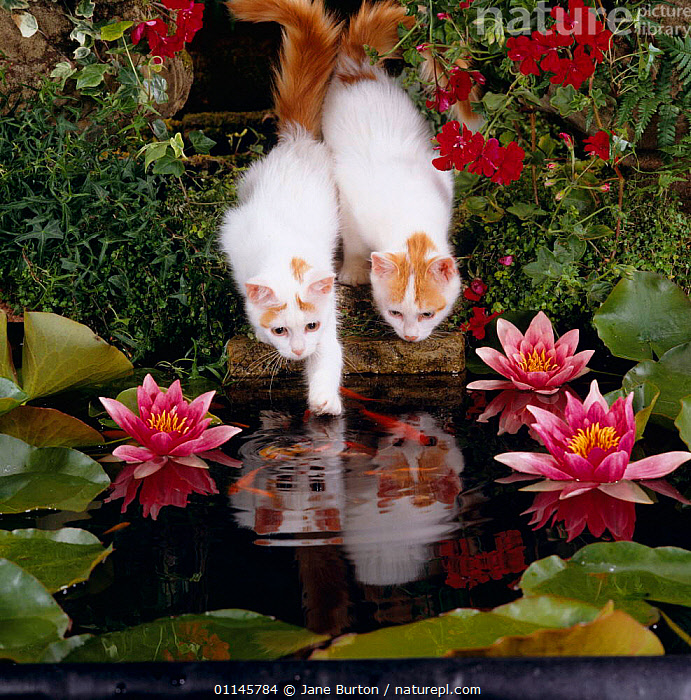 Domestic Cat, two Turkish van kittens watch and try to catch goldfish in garden pond, BABIES,CARNIVORES,CATS,FLOWERS,GARDENS,HUNTING,KITTEN,PETS,PONDS,REFLECTIONS,VERTEBRATES,WATERLILIES, Jane Burton