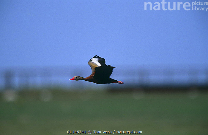 Black bellied whistling duck {Dendrocygna autumnalis} in flight, Texas, USA  ,  ACTION,BIRDS,FLYING,PROFILE,USA,VERTEBRATES,WATERFOWL,WHISTLING DUCKS,North America,Wildfowl  ,  Tom Vezo