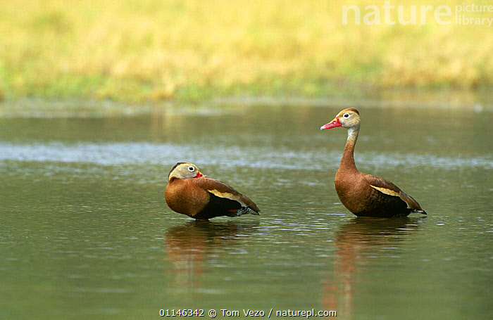 Two Black bellied whistling duck {Dendrocygna autumnalis} standing in water, Texas, USA  ,  BIRDS,TWO,USA,VERTEBRATES,WATERFOWL,WHISTLING DUCKS,North America,Wildfowl  ,  Tom Vezo