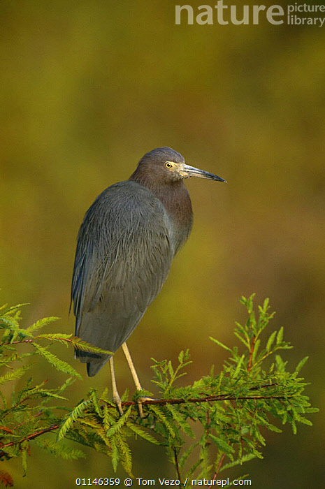 Little blue heron {Egretta caerulea} perching on branch, Florida, USA  ,  BIRDS,HERONS,PROFILE,USA,VERTEBRATES,VERTICAL,North America  ,  Tom Vezo