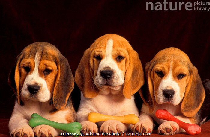Three Beagle puppies in a row with coloured toys.  ,  BABIES,CUTE,CUTOUT,DOGS,HOUNDS,PETS,PUPPY,VERTEBRATES,Canids , outdoors  ,  Adriano Bacchella