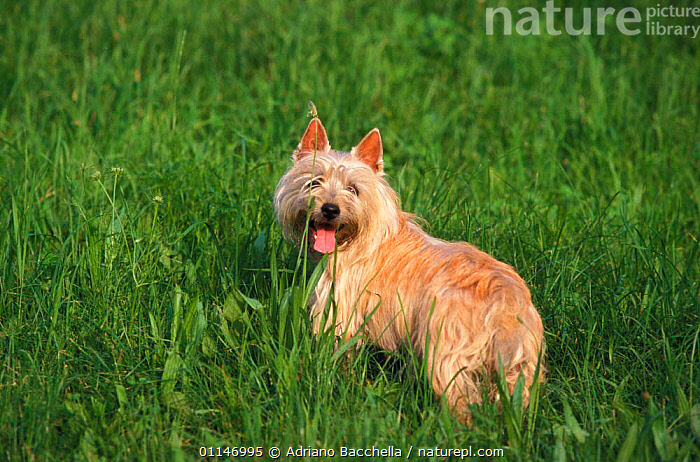 Cairn terrier in long grass  ,  DOGS,PETS,TERRIERS,VERTEBRATES,Canids , outdoors  ,  Adriano Bacchella