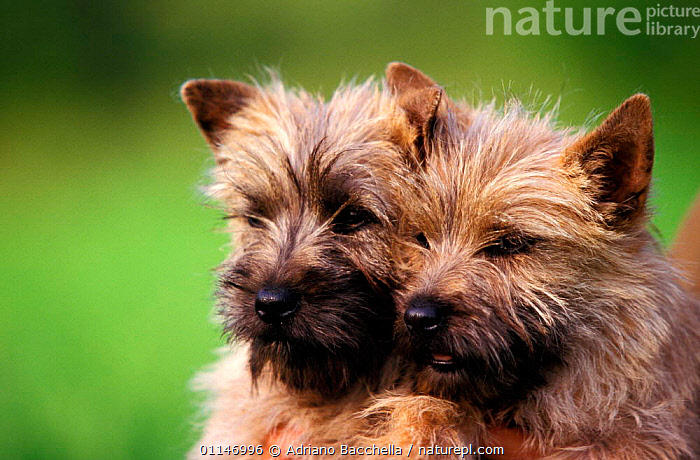 Two Cairn terrier puppies  ,  BABIES,CUTE,DOGS,PETS,PUPPY,TERRIERS,VERTEBRATES,Canids , outdoors  ,  Adriano Bacchella