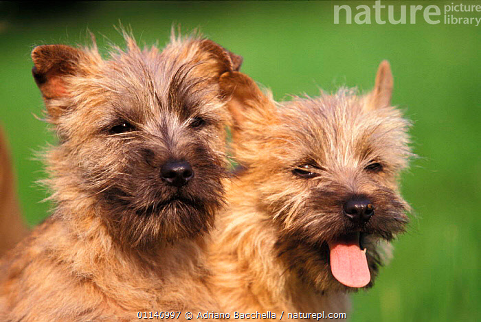 Two Cairn terrier puppies  ,  BABIES,CUTE,DOGS,FACES,HEADS,PANTING,PETS,PORTRAITS,PUPPY,TERRIERS,VERTEBRATES,Canids , outdoors  ,  Adriano Bacchella