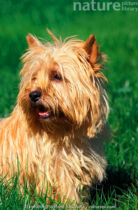 Cairn terrier portrait  ,  DOGS,PETS,PORTRAITS,TERRIERS,VERTEBRATES,VERTICAL,Canids , outdoors  ,  Adriano Bacchella