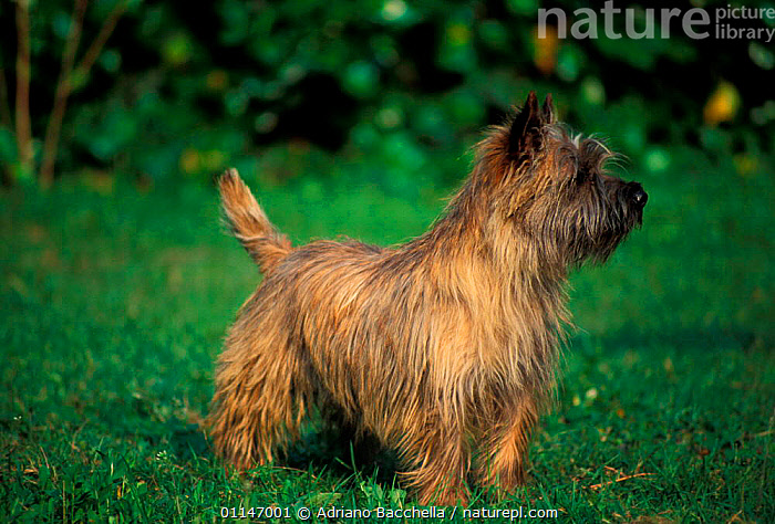 Cairn terrier  ,  DOGS,PETS,PROFILE,TERRIERS,VERTEBRATES,Canids , outdoors  ,  Adriano Bacchella