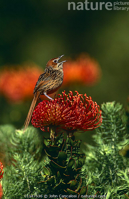 Grassbird (Sphenoeacus afer) calling from flower, South Africa  ,  BIRDS,COMMUNICATION,FLOWERS,GRASSBIRDS,RED,SINGING,SOUTHERN AFRICA,VERTEBRATES,VERTICAL,VOCALISATION  ,  John Cancalosi