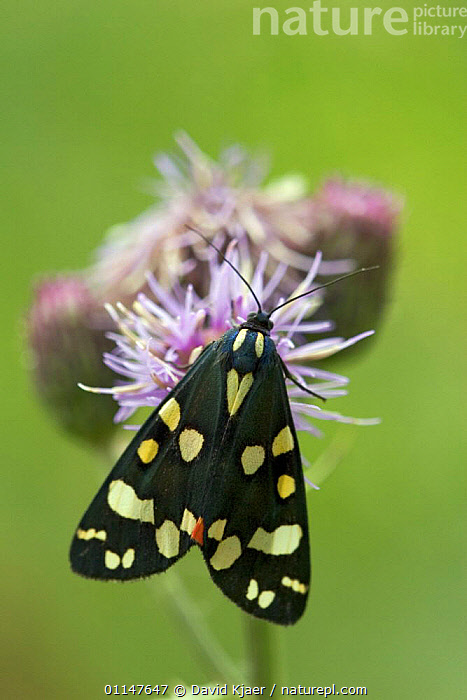 Scarlet tiger moth {Callimorpha dominula} resting on flower, Wiltshire, England.  ,  INVERTEBRATES, LEPIDOPTERA, NOCTUID-MOTHS, SPOTTED, UK, VERTICAL, EUROPE, FLOWERS, INSECTS, MOTHS, SPOTS,United Kingdom  ,  David Kjaer