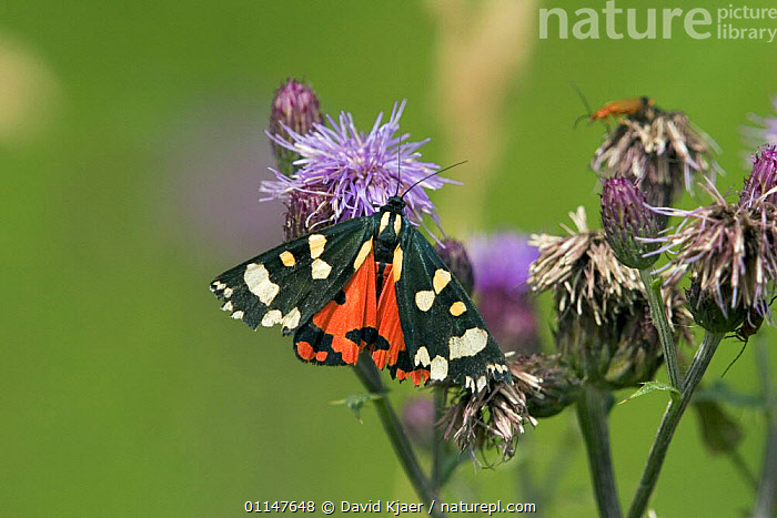 Scarlet tiger moth {Callimorpha dominula} resting on flower, Wiltshire, England.  ,  EUROPE, LEPIDOPTERA, MOTHS, INSECTS, INVERTEBRATES, NOCTUID-MOTHS, UK,United Kingdom  ,  David Kjaer