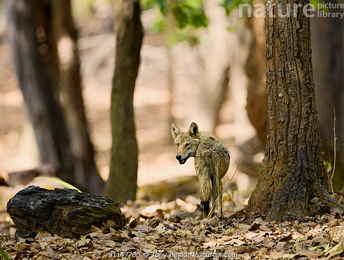 Indian grey wolf {Canis lupus} Bandhavgarh NP, India, ASIA,CANIDS,CARNIVORES,INDIAN SUBCONTINENT,MAMMALS,RESERVE,VERTEBRATES,WOLVES,Dogs, Tony Heald