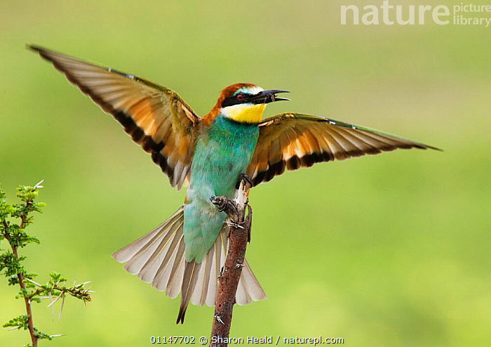 European bee-eater {Merops apiaster} stretching wings with insect prey in beak, Etosha NP, Namibia  ,  AFRICA,BEE EATERS,BIRDS,SOUTHERN AFRICA,VERTEBRATES  ,  Sharon Heald