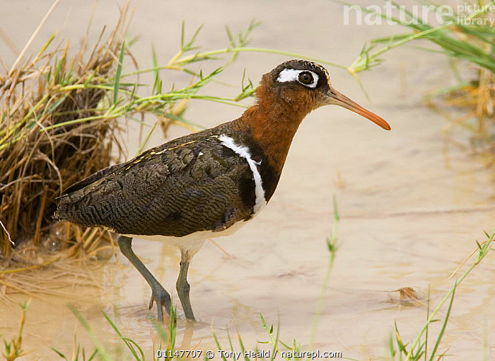 Painted snipe {Rostratula benghalensis} female walking in water, Etosha NP, Namibia  ,  AFRICA,BIRDS,PAINTED SNIPE,PROFILE,RESERVE,SOUTHERN AFRICA,VERTEBRATES,WADING,WATER  ,  Tony Heald