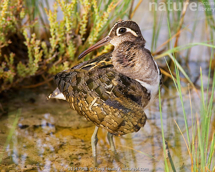 Painted snipe {Rostratula benghalensis} male preening, Etosha NP, Namibia  ,  BEHAVIOUR,BIRDS,GROOMING,PAINTED SNIPE,RESERVE,SOUTHERN AFRICA,VERTEBRATES,WADING  ,  Tony Heald