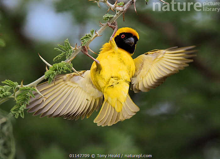 African masked weaver {Ploceus velatus} male displaying to attract female, Etosha NP, Namibia, ACTION,BEHAVIOUR,BIRDS,DISPLAY,MATING BEHAVIOUR,RESERVE,SOUTHERN AFRICA,VERTEBRATES,WEAVER BIRDS,WINGS,YELLOW,Reproduction,Communication, Tony Heald