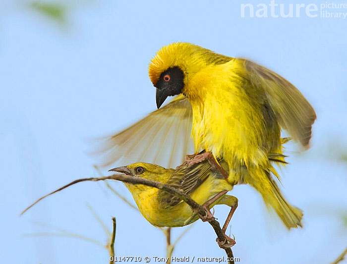 African masked weavers mating {Ploceus velatus} Etosha NP, Namibia, BEHAVIOUR,BIRDS,COPULATION,MALE FEMALE PAIR,MATING BEHAVIOUR,PROFILE,REPRODUCTION,RESERVE,SOUTHERN AFRICA,VERTEBRATES,WEAVER BIRDS,YELLOW, Tony Heald