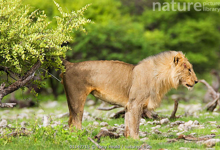 African lion {Pantera leo} scent marking by spraying urine on tree, Etosha NP, Namibia, AFRICA,BEHAVIOUR,BIG CATS,CARNIVORES,LIONS,MALES,MAMMALS,PROFILE,RESERVE,SOUTHERN AFRICA,TERRITORIAL,VERTEBRATES, Tony Heald