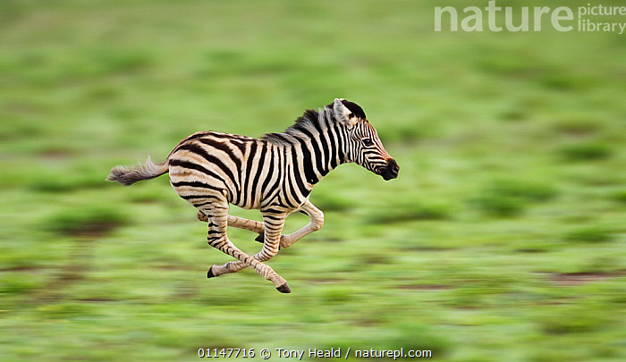 RF- Common zebra foal running (Equus quagga). Etosha National Park, Namibia. Digitally enhanced. (This image may be licensed either as rights managed or royalty free.), ACTION,AFRICA,MAMMALS,MOVEMENT,PERISSODACTYLA,RESERVE,southern africa,SPEED,VERTEBRATES,ZEBRAS,EQUUS QUAGGA,Animal,Vertebrate,Mammal,Odd toed ungulate,Common Zebra,Animalia,Animal,Wildlife,Vertebrate,Mammalia,Mammal,Perissodactyla,Odd toed ungulate,Equidae,Equus,Equus quagga,Common Zebra,Painted Zebra,Plains Zebra,Equus burchelli,Running,Direction,Energetic,On The Move,Speed,Urgency,Mid Air,Nobody,Pattern,Stripes,Africa,Southern Africa,Namibia,South-West Africa,Profile,Image Manipulation,Digital Enhancement,Side View,Young Animal,Juvenile,Babies,Baby Mammal,Foal,Foals,Outdoors,Nature,Wild,Reserve,Protected area,National Park,Negative space,Namibian,Moving,Purpose,Hurrying,Etosha National Park,RF,Royalty free,RFCAT1,RF17Q1,, Tony Heald