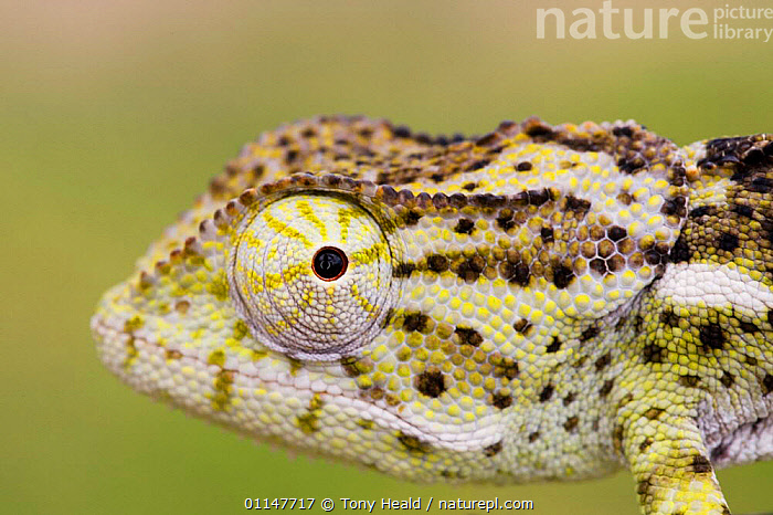 Flap necked chameleon {Chamaeleo dilepis} portrait, Etosha NP, Namibia, AFRICA,CHAMELEONS,COLOURFUL,EYES,HUMOROUS,LIZARDS,PATTERNS,PORTRAITS,PROFILE,REPTILES,RESERVE,SOUTHERN AFRICA,VERTEBRATES,Concepts, Chameleons, Tony Heald