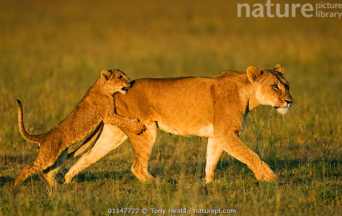 African lion {Panthera leo} cub play fighting mother Laikipia, Kenya., BABIES,BEHAVIOUR,BIG CATS,CARNIVORES,EAST AFRICA,FAMILIES,HUMOROUS,INTERACTION,LIONS,MAMMALS,PLAYING,RESERVE,VERTEBRATES,Africa,Concepts, Tony Heald
