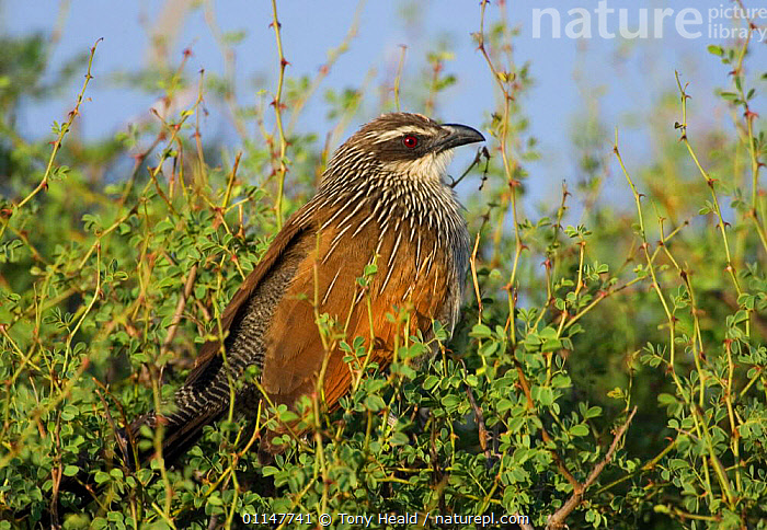 White browed coucal {Centropus superciliosus} Laikipia, Kenya  ,  AFRICA,BIRDS,CUCKOOS,EAST AFRICA,PROFILE,RESERVE,VERTEBRATES  ,  Tony Heald