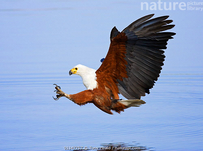 African fish eagle about to catch fish {Haliaeetus vocifer} Chobe NP, Botswana.  ,  ACTION,BEHAVIOUR,BIRDS,BIRDS OF PREY,CATCHING,CLAWS,DRAMATIC,EAGLES,MOVEMENT,PREDATION,PROFILE,SOUTHERN AFRICA,VERTEBRATES,WATER,Raptor,Catalogue1  ,  Tony Heald