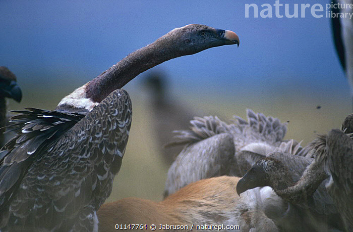 Ruppell's griffon vulture (Gyps rueppelli) scavenging at Kob carcass, Rwindi Plain, Democratic Republic of Congo, BIRDS,CARCASS,CENTRAL AFRICA,CONGO,DEATH,DRC,FEEDING,GROUPS,MIXED SPECIES,SCAVENGING,VERTEBRATES,VULTURES,Africa , Bruce Davidson, Jabruson