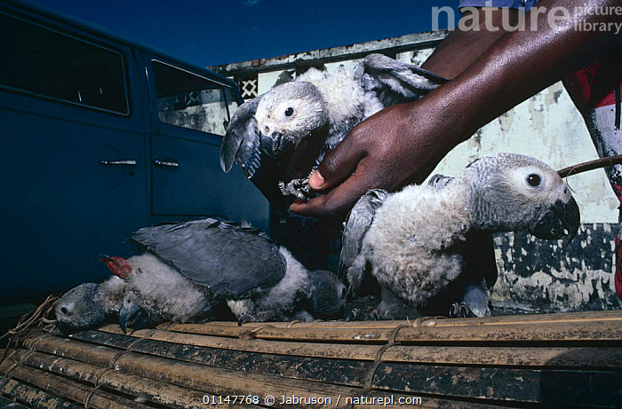 Captive African grey parrot (Psittacus erithacus) fledglings destined for wildlife trade, Goma town, Democratic Republic of Congo, ANIMAL CARE,BABIES,BIRDS,CAPTIVE,CAPTIVITY,CENTRAL AFRICA,CONGO,DRC,ILLEGAL,IMMATURE,JUVENILE,MARKETS,PARROTS,PEOPLE,PETS,TRADE,VERTEBRATES,YOUNG,Africa , Bruce Davidson, Jabruson