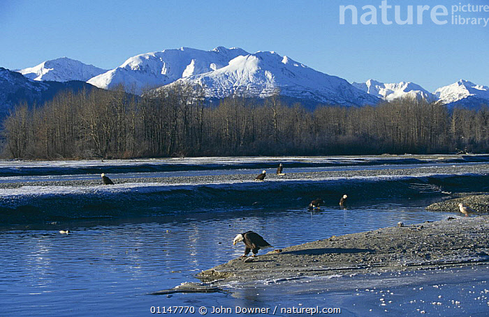 American bald eagles (aliaeetus leucocephalus) waiting by river for annual salmon run along Chiklat river, Alaska, USA  ,  ALASKA,BIRDS,BIRDS OF PREY,EAGLES,GROUPS,HABITAT,LANDSCAPES,MOUNTAINS,NORTH AMERICA,RIVERS,USA,VERTEBRATES,Raptor  ,  John Downer