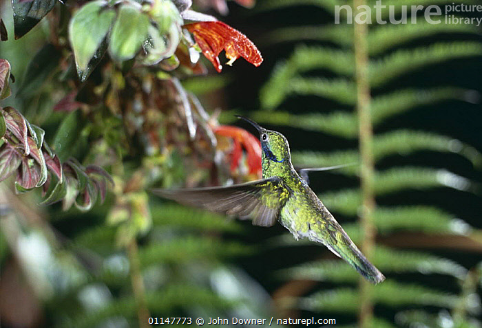 Sparkling violetear hummingbird (Colibri coruscans) flying to feed at flower, Venezuela, captive, ACTION,BIRDS,FLOWERS,FLYING,HUMMINGBIRDS,MOVEMENT,PLANTS,SOUTH AMERICA,TROPICAL,VENEZUELA,VERTEBRATES, John Downer