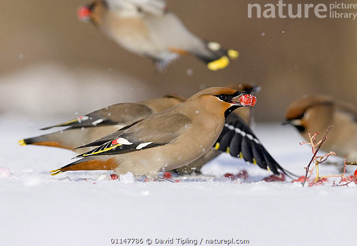 Bohemian Waxwing {Bombycilla garrulus} feeding on Rowan berries, Finland., BEHAVIOUR,BIRDS,EUROPE,FEEDING,GROUPS,PROFILE,SNOW,VERTEBRATES,WAXWINGS,WINTER, David Tipling